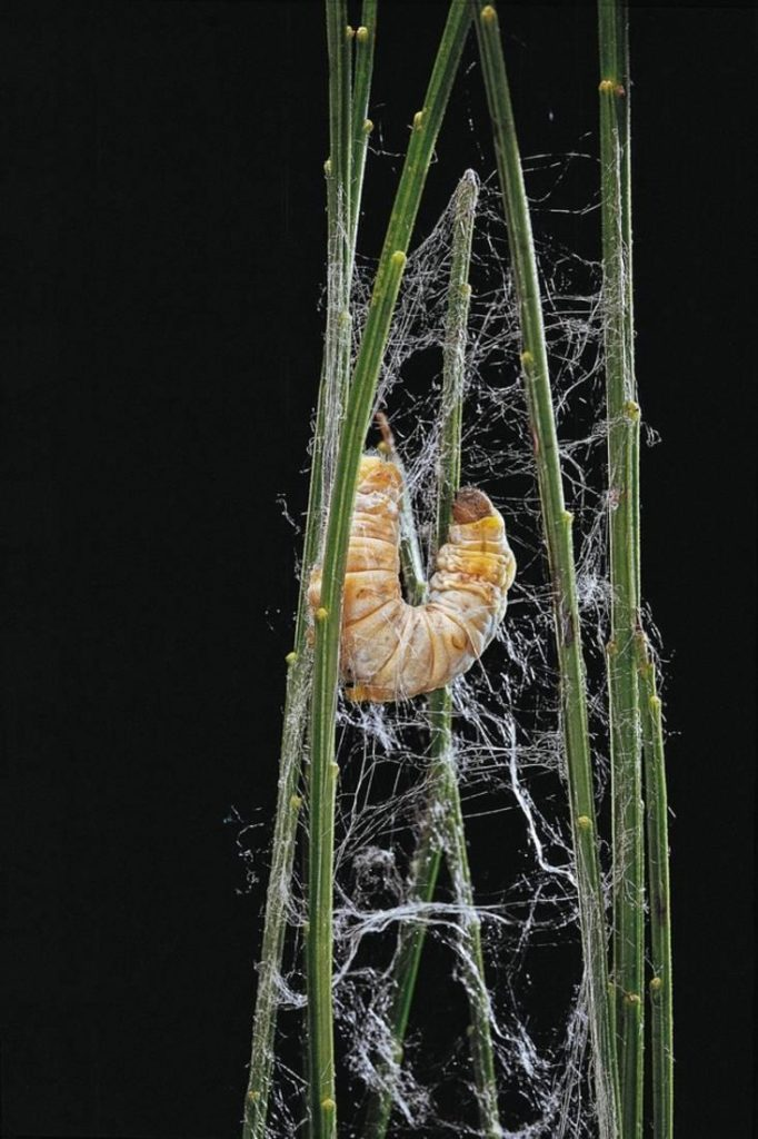 A silkworm spinning its cocoon.